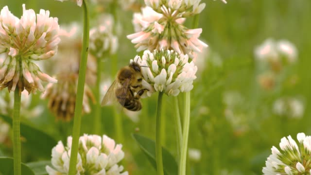 Honey bee is collecting nectar from a clover flower video