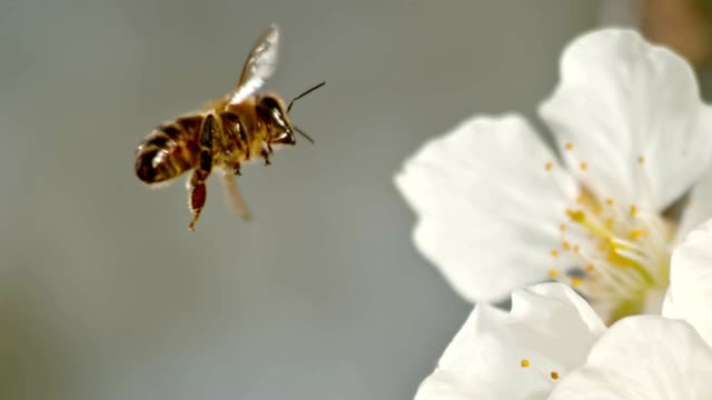 SLO MO TS Honey bee landing on a white blossom Slow motion close up tracking shot of a Carniolan honey bee approaching a white cherry tree blossom and landing on the fragile white petal. Shot in Slovenia. pollen stock videos & royalty-free footage