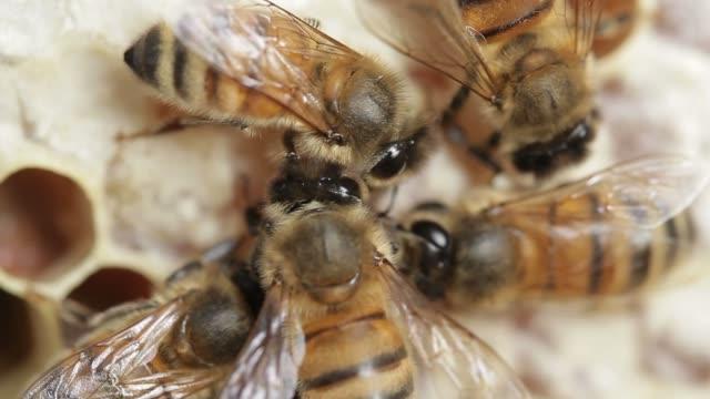 Honig Biene Makro Filmmaterial von bee hive und Honig Produktion Imker – Video