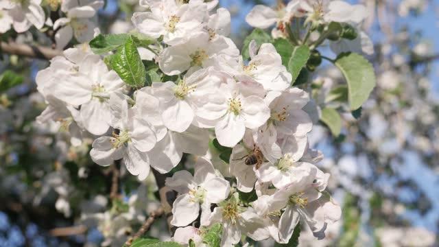 honungsbiet på äppelträd på våren med vita blommor - äppelblom bildbanksvideor och videomaterial från bakom kulisserna