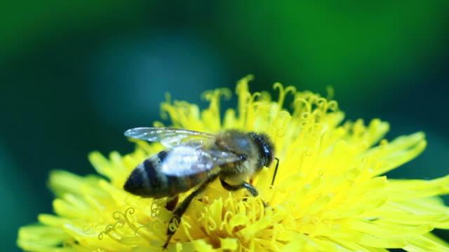 stockvideo's en b-roll-footage met honey bee on dandelion - arthropod