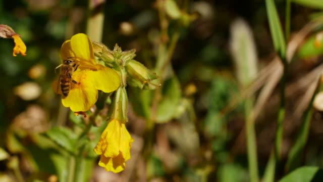 honey bee on flower - ape operaia video stock e b–roll