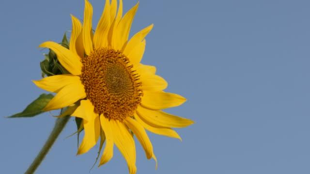 vídeos de stock, filmes e b-roll de abelha de mel no girassol (helianthus annuus) vídeo floret 4k - flor temperada