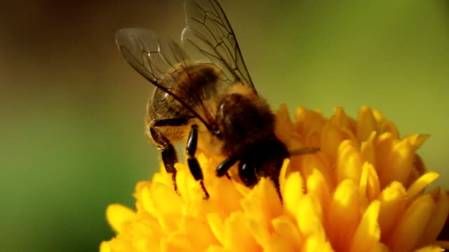 Honey bee pollinate flower