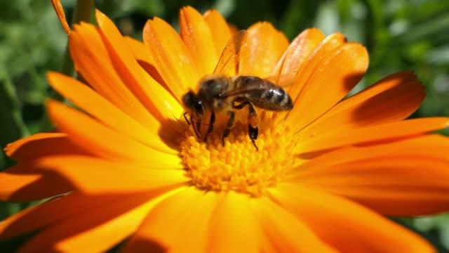Honey Bee Pollinates Flower Close Up Slow Motion