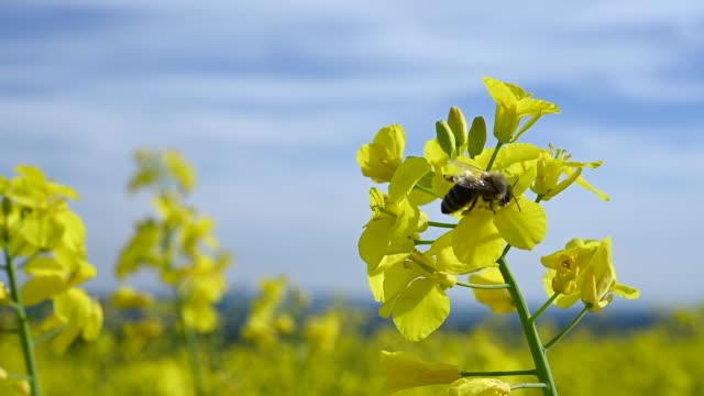 vídeos y material grabado en eventos de stock de abeja de miel sentado en flor amarilla y néctar de recolección en el hermoso día soleado. - insecto himenóptero