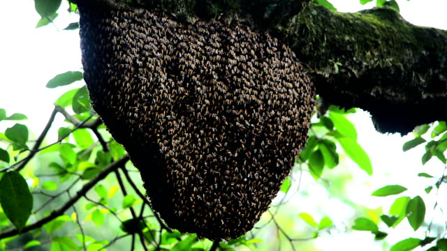 Honey Bee Swarm In The Tree video