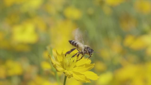 honey bee decollo cu slow motion - coreopsis lanceolata video stock e b–roll