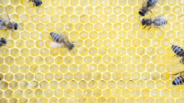 honey bees and larvae. - alveare video stock e b–roll