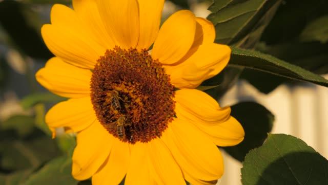 polen toplama bal arıları - üreme organı stok videoları ve detay görüntü çekimi