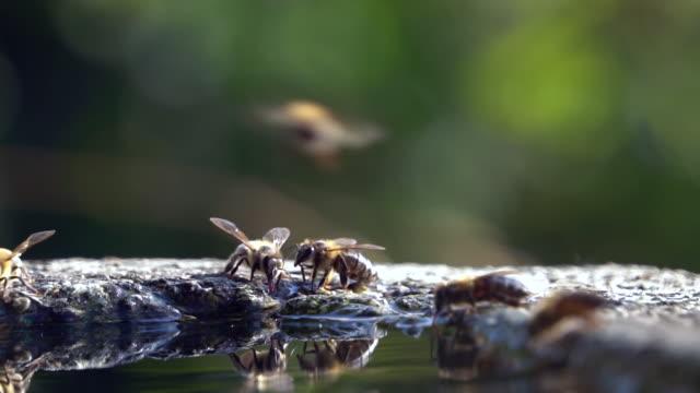 honig-bienen-trinkwasser - zeitlupe - wespe stock-videos und b-roll-filmmaterial