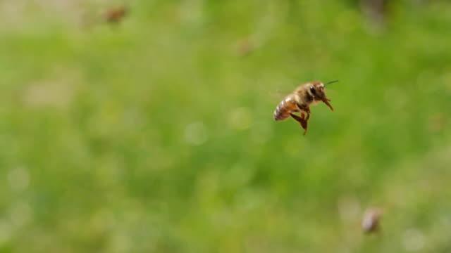 ZEITLUPE : Honig-Bienen fliegen – Video