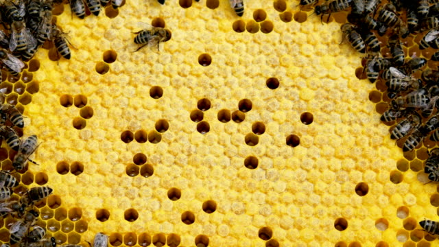 vídeos de stock e filmes b-roll de honey bees in a bee hive. - honeycomb