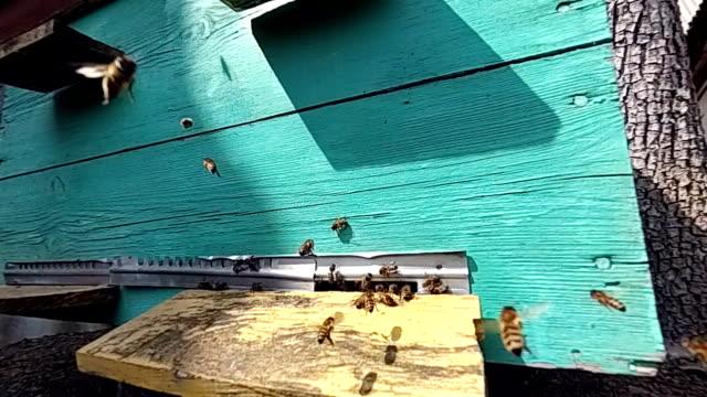 Honey bees near a beehive, in flight. video