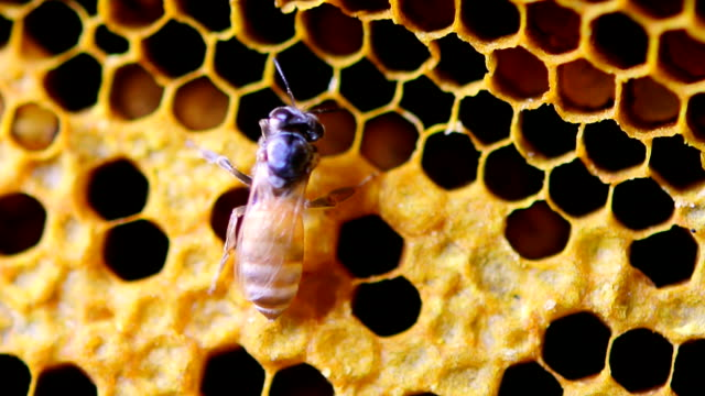 le api da miele in favo - favo video stock e b–roll