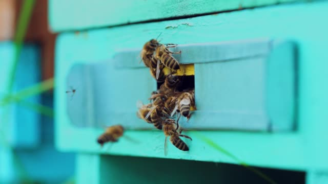 honey bees swarming and flying around their beehive. - alveare video stock e b–roll