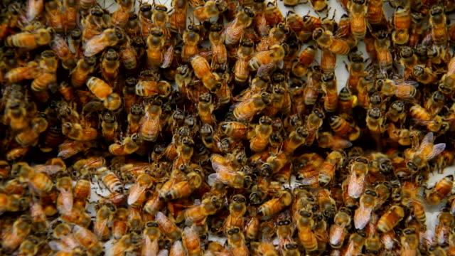 Honig-Bienen – Video