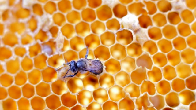 honey bees - ape regina video stock e b–roll