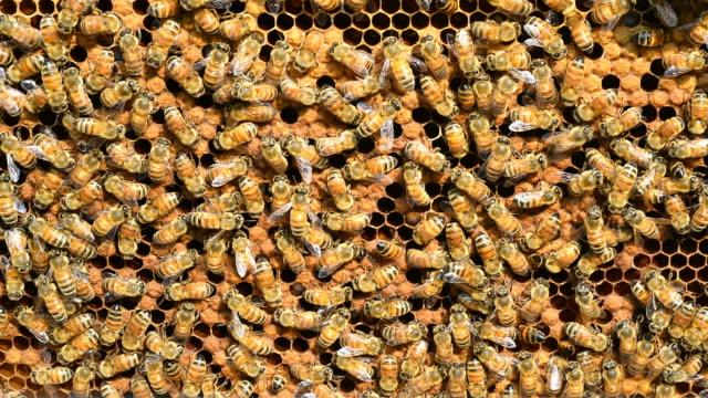 le api da miele, time lapse - apicoltura video stock e b–roll