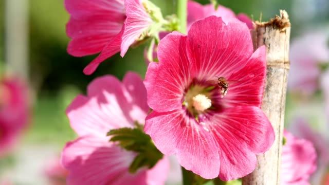 Honeybee attracted to Hollyhock flower