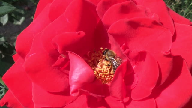 a honeybee collects pollen in a red rose flower - stame video stock e b–roll