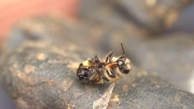 bir bal arısı kovanı savunurken öldü.  acısını kullandıktan sonra arının acısıyla ölür. acıttığında, ölür. - ölü stok videoları ve detay görüntü çekimi