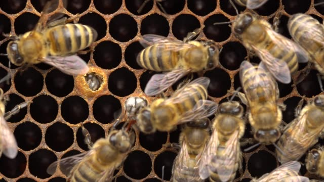 honeybee emerging from cell. 21 days after the queen has laid an egg in the cell, the fully developed young bee chews through the wax cap and emerges out of her cell - ape regina video stock e b–roll