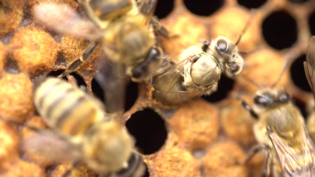 honeybee emerging from cell - ape regina video stock e b–roll
