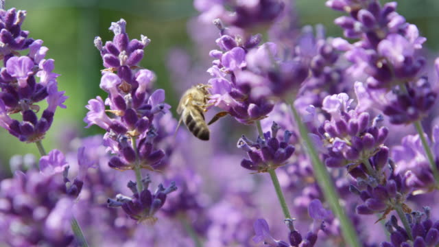 SLOW MOTION MACRO Honeybee gathering nectar in stunning lilac field of lavender SLOW MOTION CLOSE UP Light summer breeze in a beautiful violet field of lavender. Hardworking bee flying from blossom to blossom collecting honey. Stunning purple lavender flowers in sunlit Provence provence alpes cote d'azur stock videos & royalty-free footage