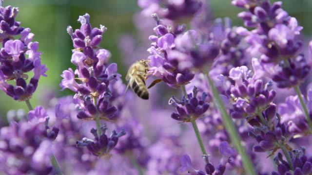 vídeos de stock e filmes b-roll de slow motion macro honeybee gathering nectar in stunning lilac field of lavender - lavanda planta