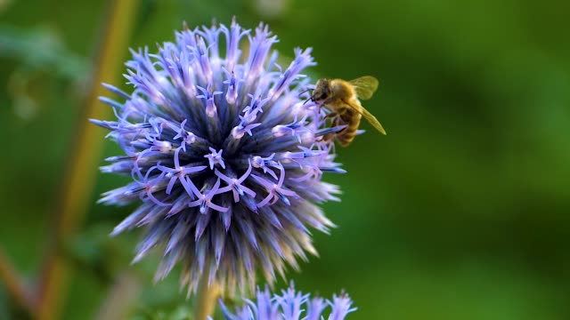 Honeybee on a  thistle flower Close up of a honeybee on a  thistle flower collecting nectar. arthropod stock videos & royalty-free footage
