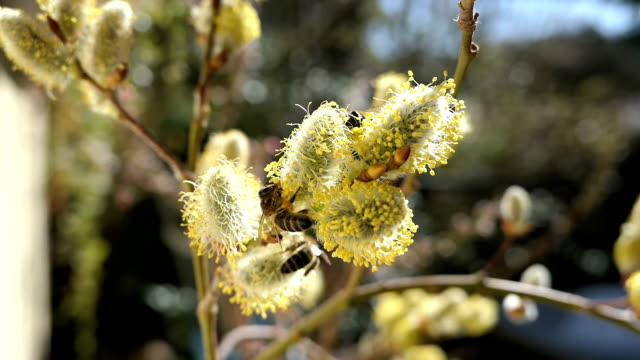 honeybee on catkin at willow tree in springtime. blossom. video