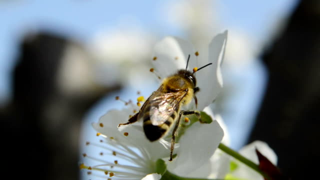 Honeybee over pear blossoms video