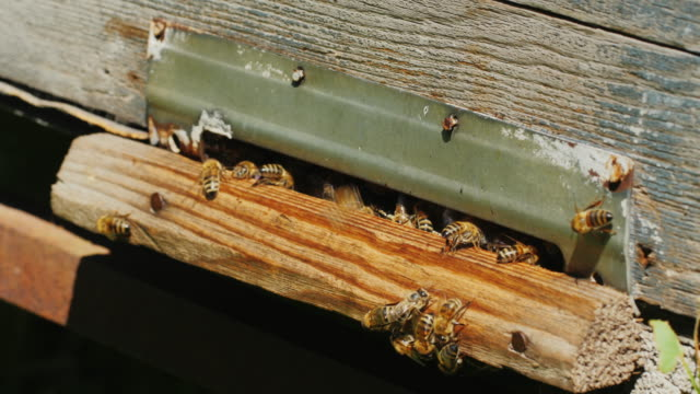Honeybees at the entrance to the hive video