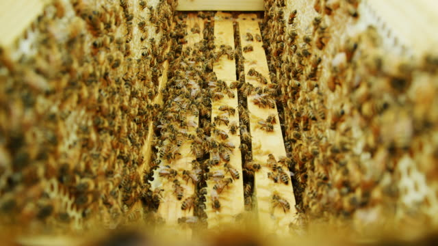 honeybees crawl between wooden frames in a beehive - apicoltura video stock e b–roll