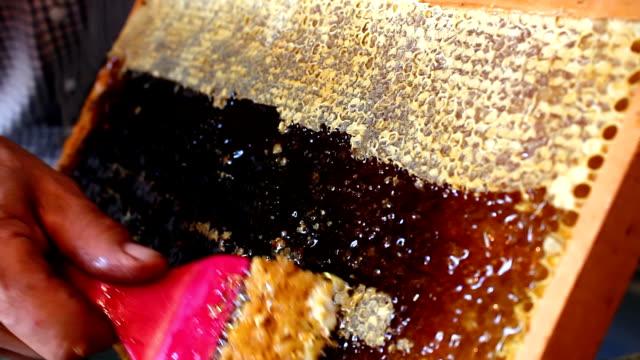 acanthostracion pieno di miele - ape operaia video stock e b–roll