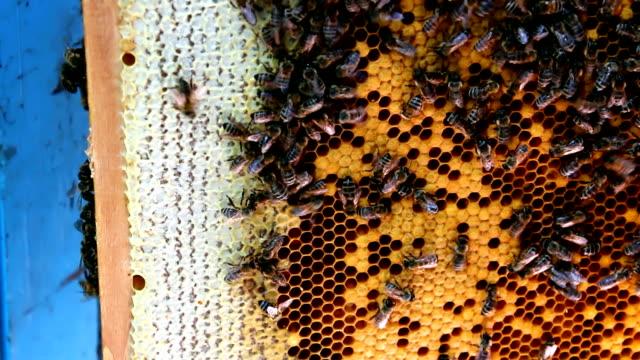 a nido d'ape - ape operaia video stock e b–roll