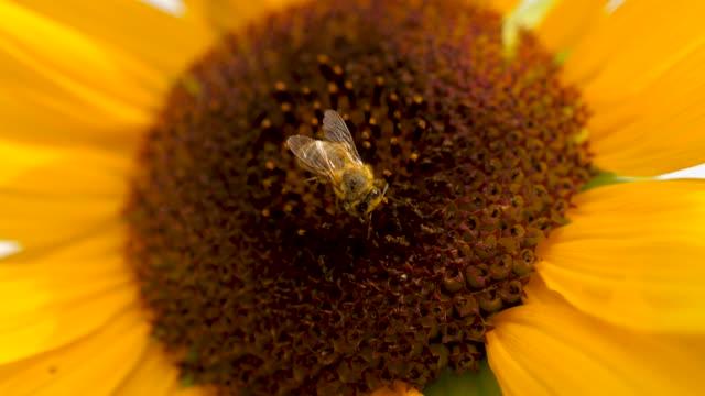 ballar arı polen toplama - üreme organı stok videoları ve detay görüntü çekimi