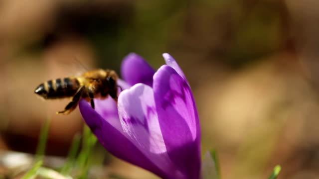 Honney bee on crocus flower in spring in wildlife at sunlight video