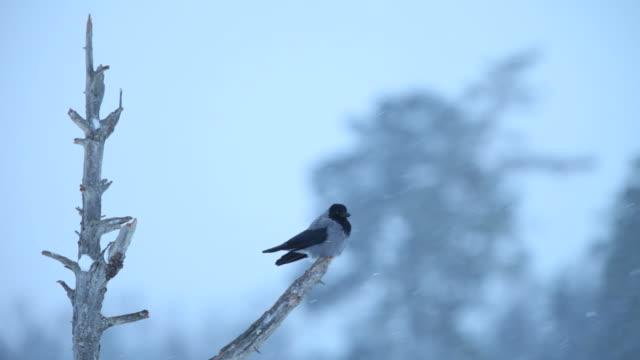 corvo con cappuccio - appollaiarsi video stock e b–roll