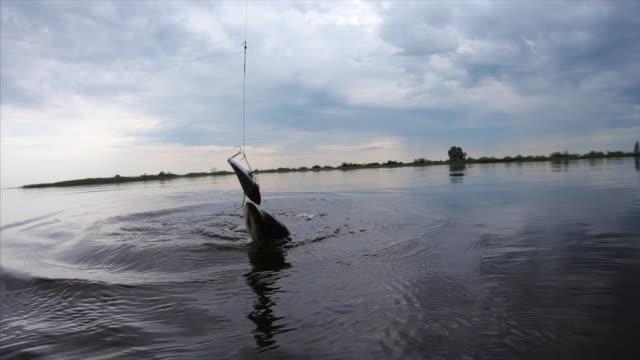 hooked gädda fisk - meta bildbanksvideor och videomaterial från bakom kulisserna