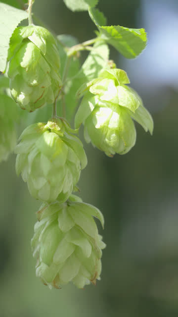 Hop cones twigs on the plantation in vertical video in 4k slow motion 60fps