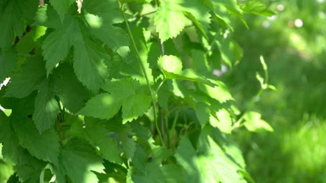 4 k スローモーション 60 fps で庭で植物をホップします。 - チェコ共和国点の映像素材/bロール