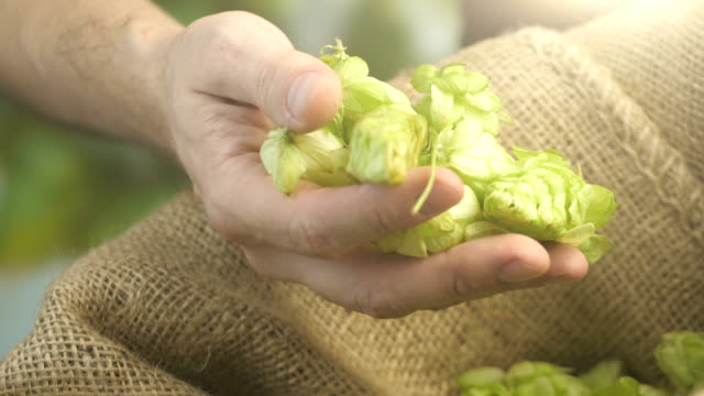 Hops cones in hand in 4K slow motion - video