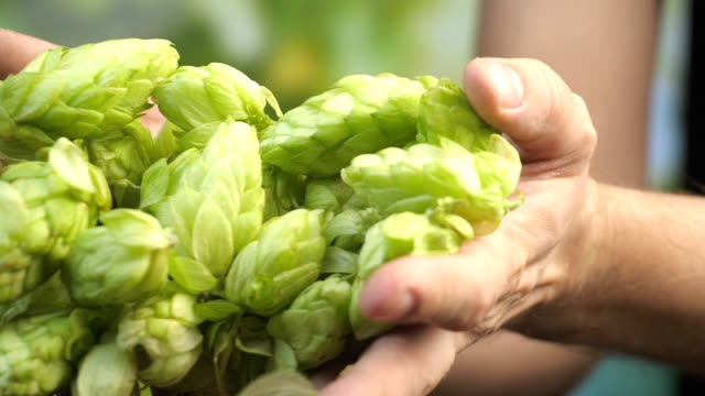 Hops cones in hands in slow motion Professional video of hops cones in hands in slow motion 180fps ingredient stock videos & royalty-free footage