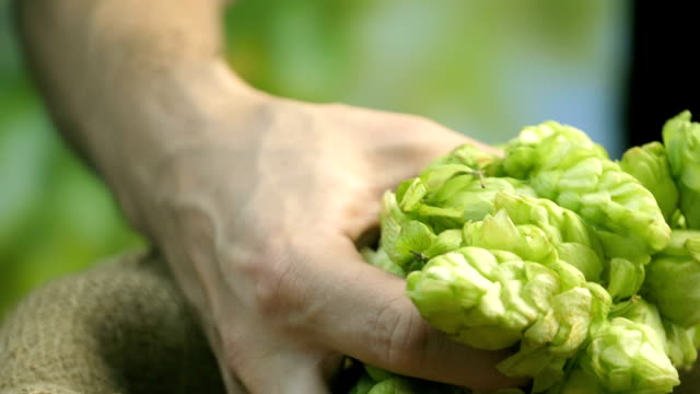 Hops cones in hands in slow motion - video