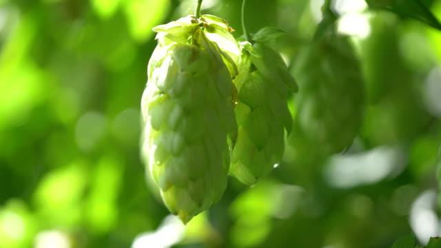 stockvideo's en b-roll-footage met hop op de natuurlijke plantage in 4k - gulf coast states