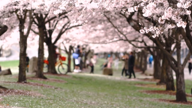 Horizontal Composition Blooming Cherry Blossoms on two rows of Trees