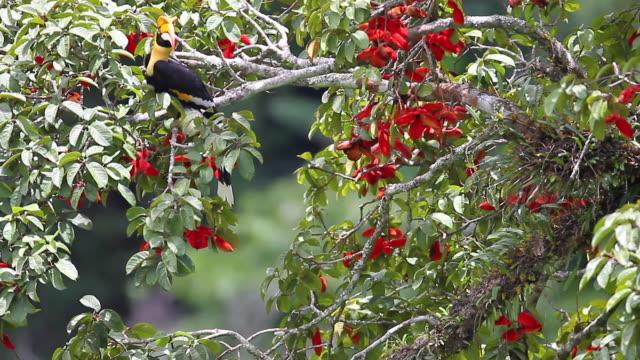 hornbill fågel: vuxna kvinnliga fantastiska hornbill (buceros bicornis) - städsegrön växt bildbanksvideor och videomaterial från bakom kulisserna