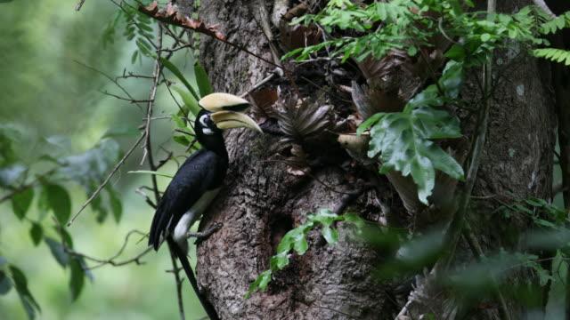 Hornbill bird : Adult male Oriental pied hornbill (Anthracoceros albirostris)